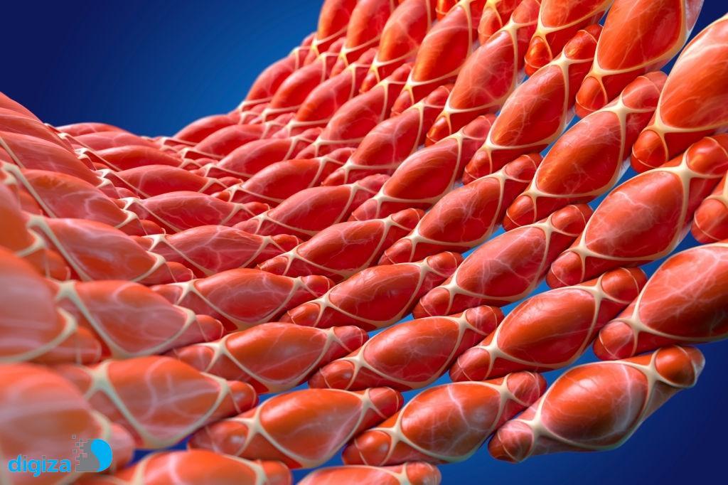 ابداع روش جدید ترمیم ماهیچه با برنامهنویسی مجدد سلولها و داربست هیبریدی