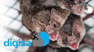 خفاش های خون آشام هنگام بیماری فاصله گذاری اجتماعی را رعایت می کنند