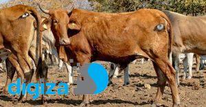 خودداری شیرها از حمله به گاوهایی که پشتشان چشم دارند!