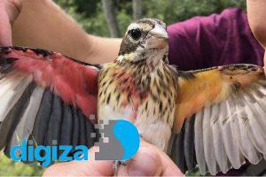 زیستشناسان پرندهای پیدا کردند که خصوصیات نر و ماده را باهم دارد!