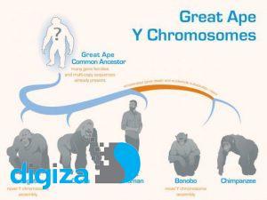 فرگشت کروموزوم Y در میمونهای بزرگ رمزگشایی شد
