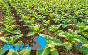 نمونهای بارز برای تعریف تولیدات گیاهی تراریخته