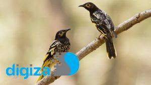 پرندهای که آوازش را فراموش کرده؛ آواز پرندگان دیگر را میخواند!