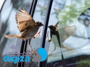 چرا پرندگان به سمت خودروها شیرجه میزنند؟