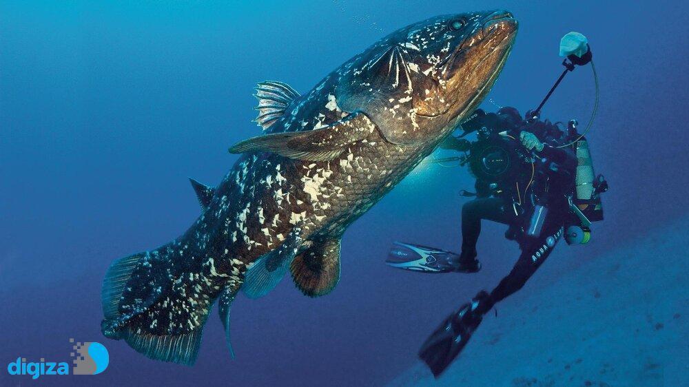 فسیل زنده در اعماق دریا/ ماهی «سیلَکانت» با عمری بیش از یک قرن!